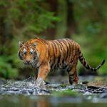 Harimau Serang Wisatawan, Warga Pagar Alam Diminta Hati-hati
