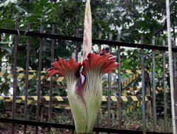 Bunga Bangkai  Ditemukan di Jagakarsa Jaksel